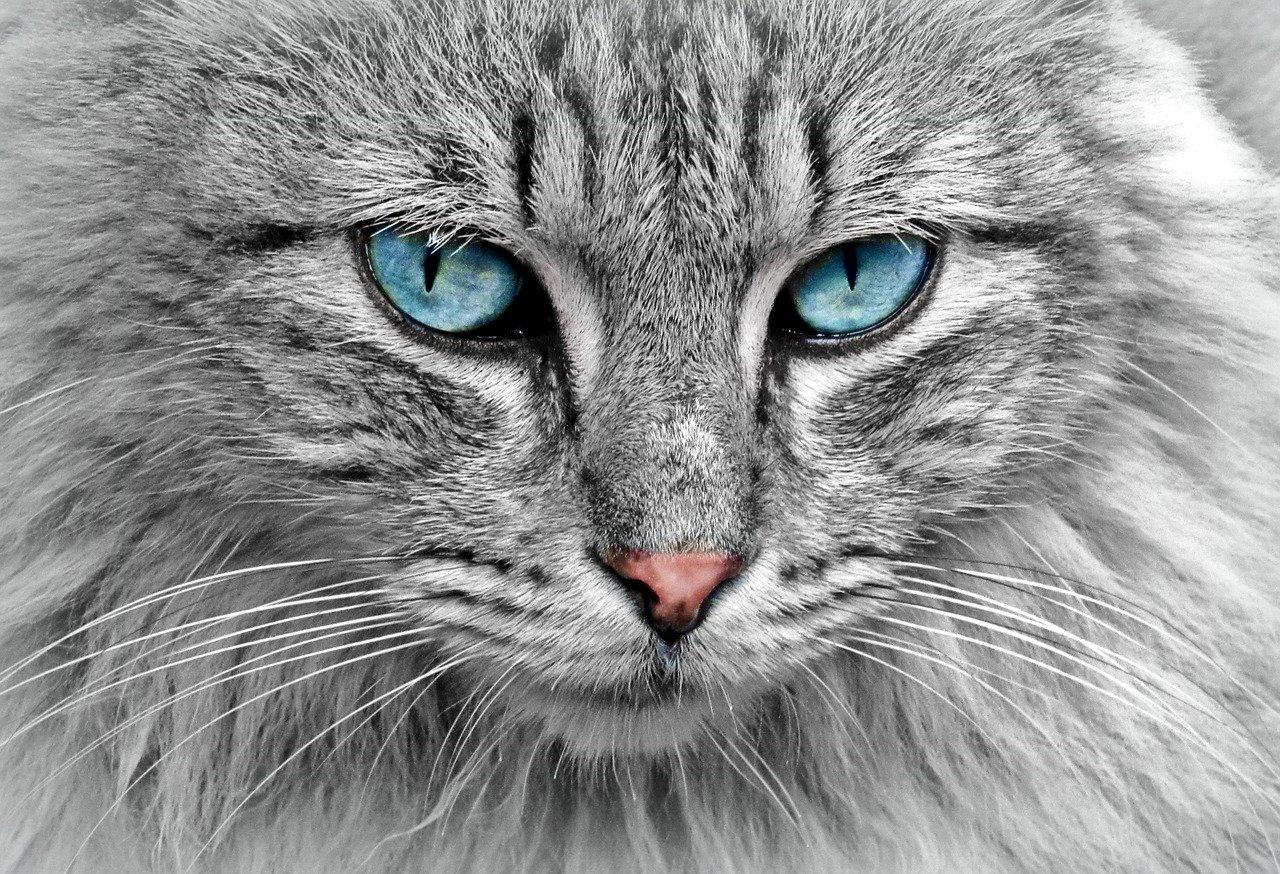 Kaliciwiroza kotów lub kaliciwirusowe zakażenie górnych dróg oddechowych - FCV