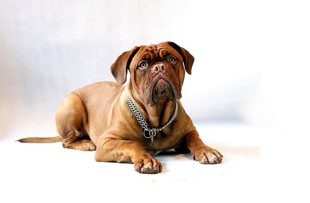 Zakaźne zapalenie wątroby u psów