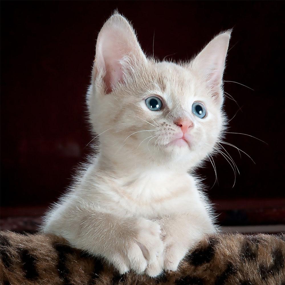 kocie-ciekawostki